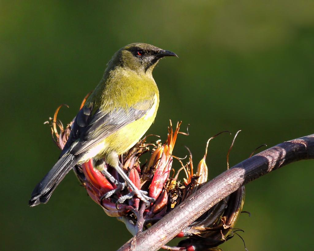 Bell Bird Fauna New Zealand