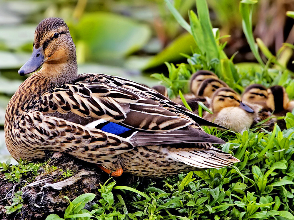 Grey Duck Fauna New Zealand