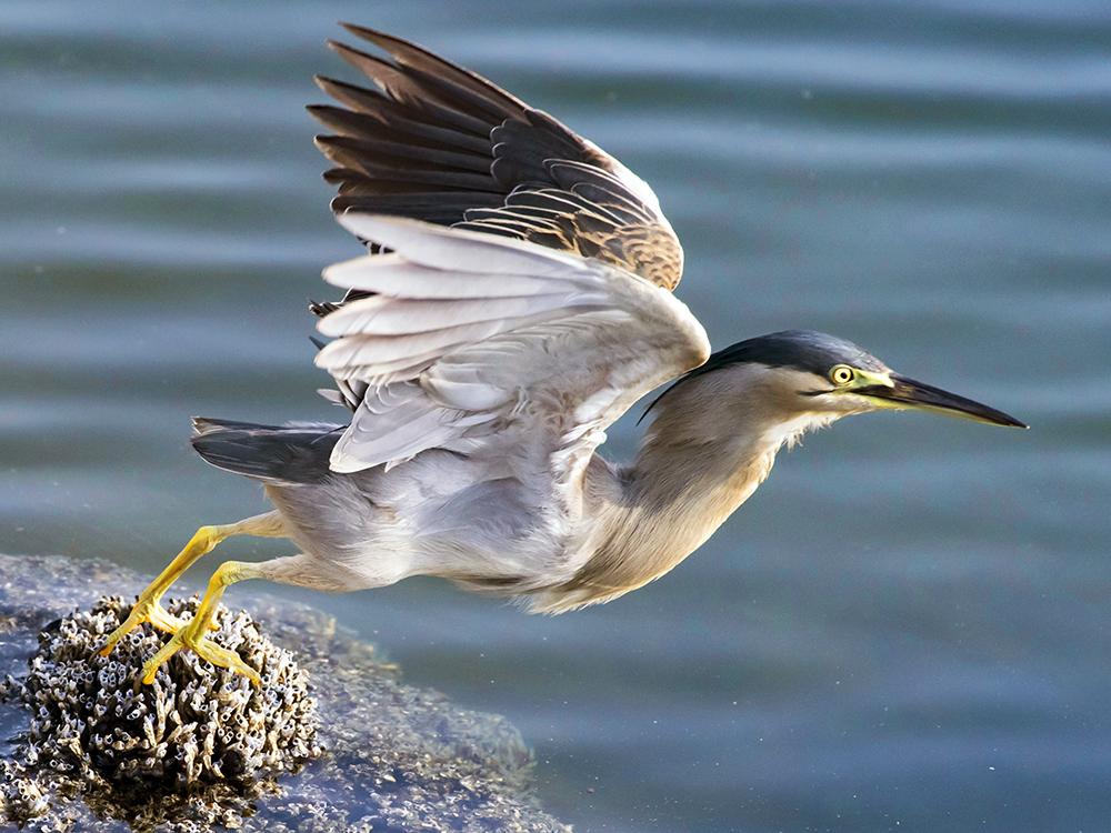 Grey Heron Fauna New Zealand