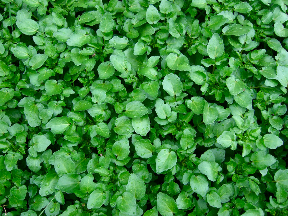Watercress Flora New Zealand