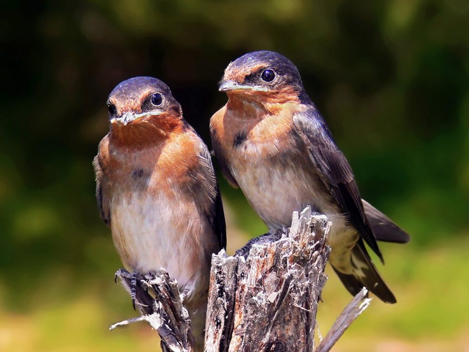 Welcome Swallow Fauna New Zealand