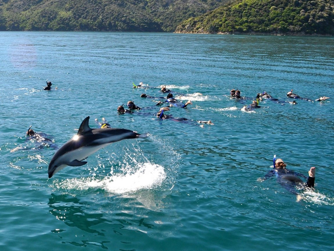Things to do in Marlborough Swimming with Dolphins