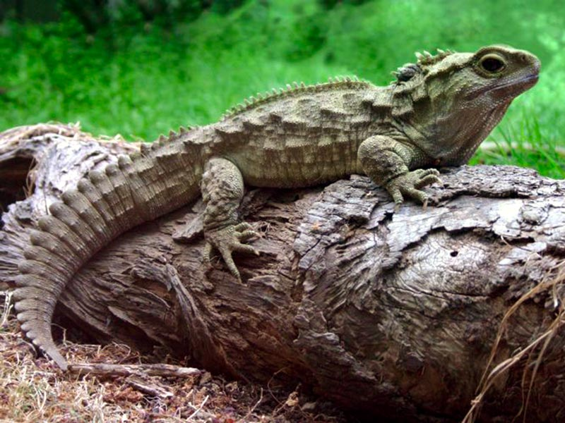 Kayak Nature Tour Tuatara Reptile