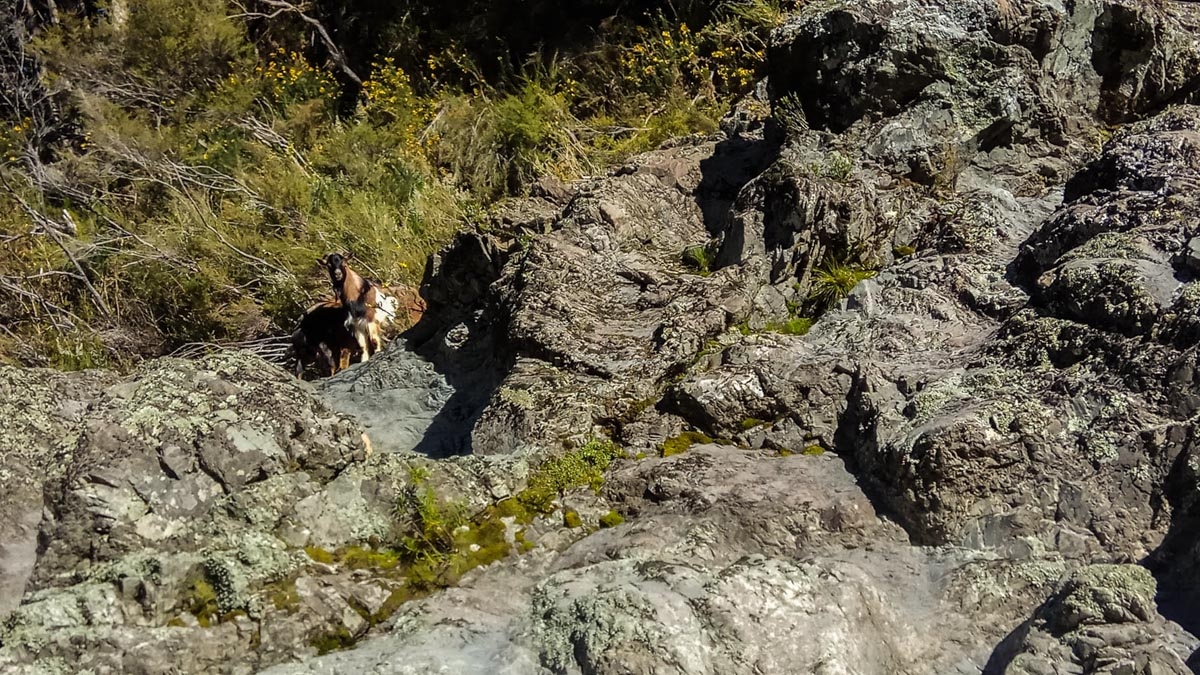 Goat at the Pelorus River, New Zealand