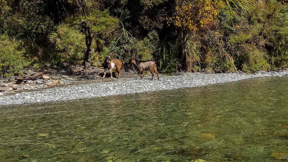 Goats at the Pelorus River, Havelock New Zealand