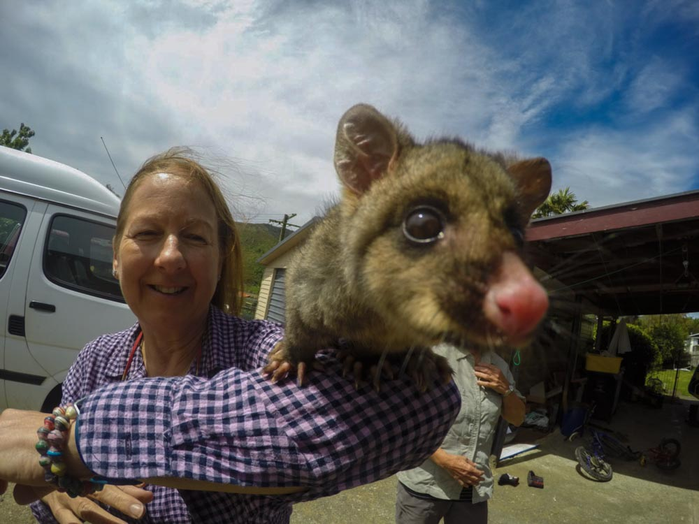 Possum at the Bluemoon Lodge in Havelock