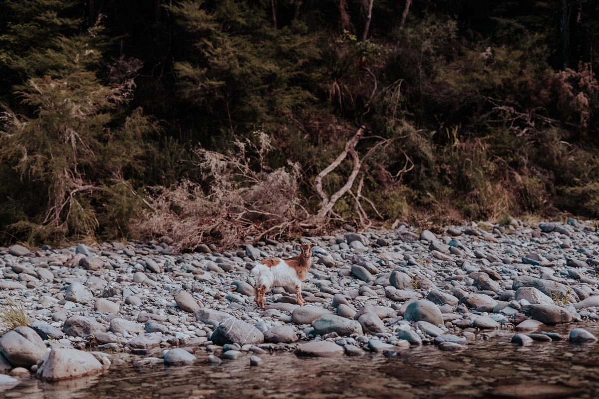 Goat at the Pelorus River, New Zealand