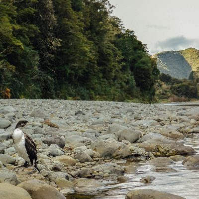 Bird at the Pelorus river, New Zealand