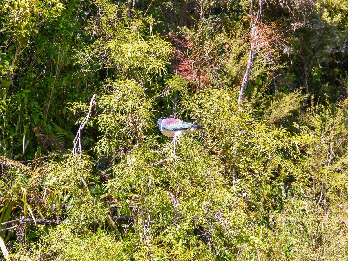 Kereru Native Wood Pigeon in NZ