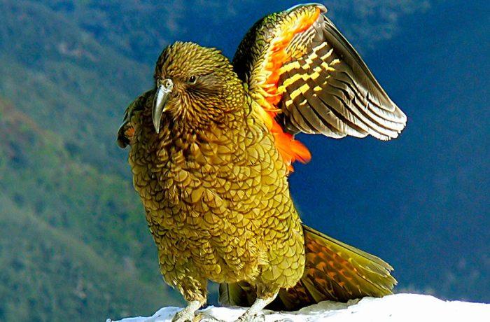Native New Zealand Birds
