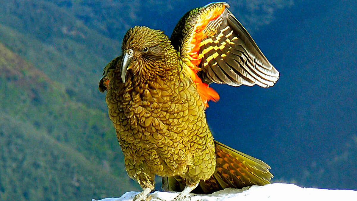 New Zealand Birds - Kea