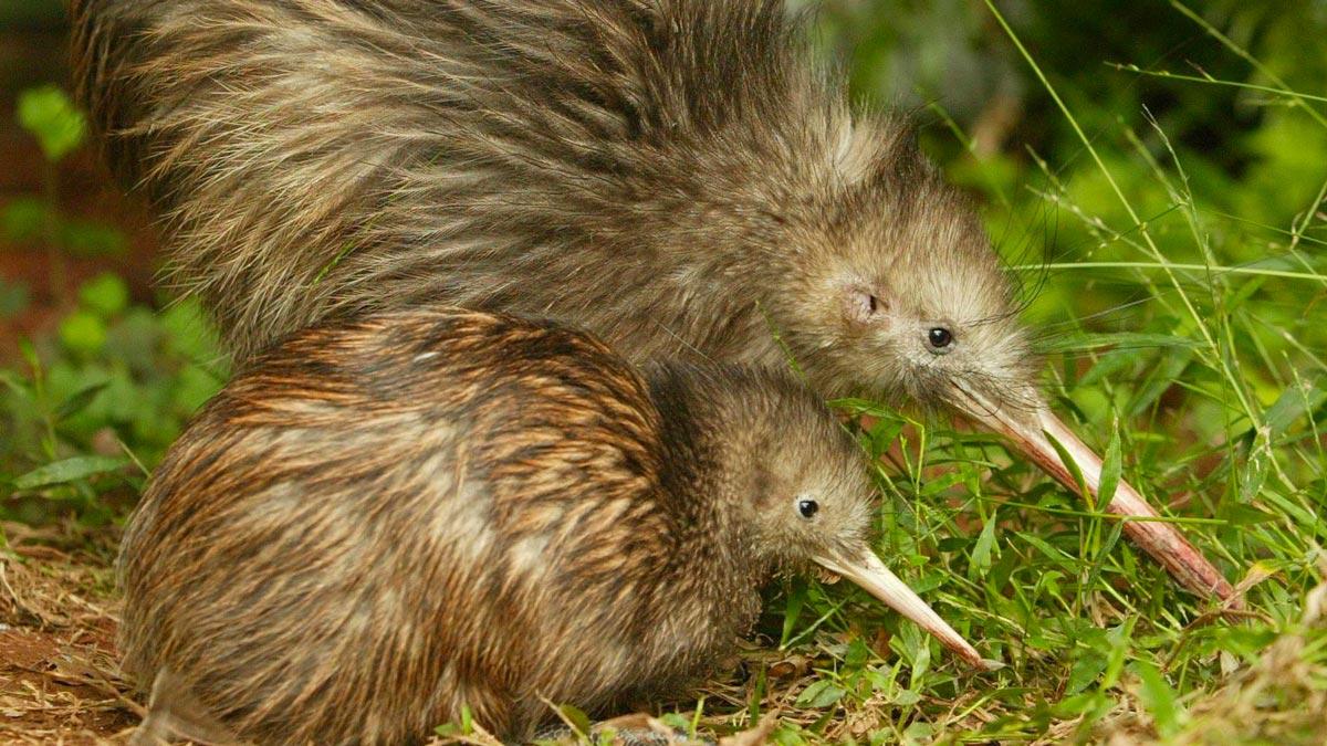 New Zealand Birds - Kiwi
