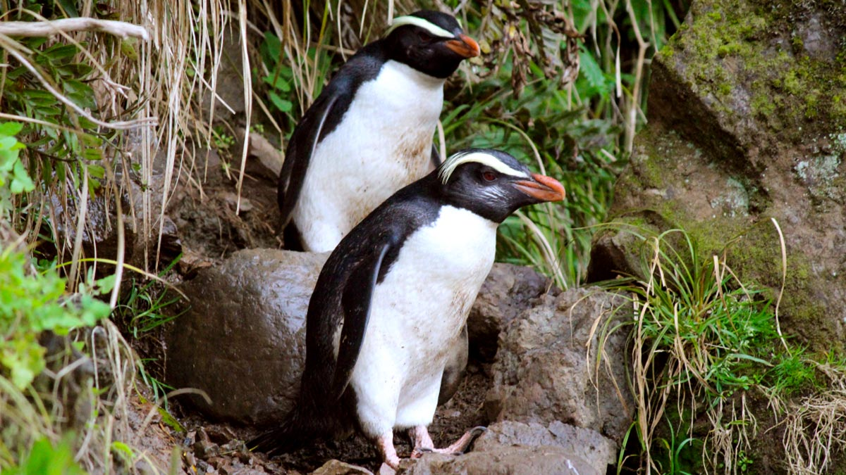 New Zealand Birds - Penguins